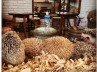 The first hedgehog cafe Opens in Tokyo